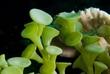 Ronioci upozoravaju na širenje alge Racemosa