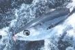 U Poreču spektakl: 'big game fishing' na tune za odlazak na SP